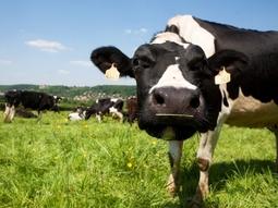 Vache dans un pré des Yvelines