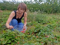 Cueillette des fraises à la ferme du Logis